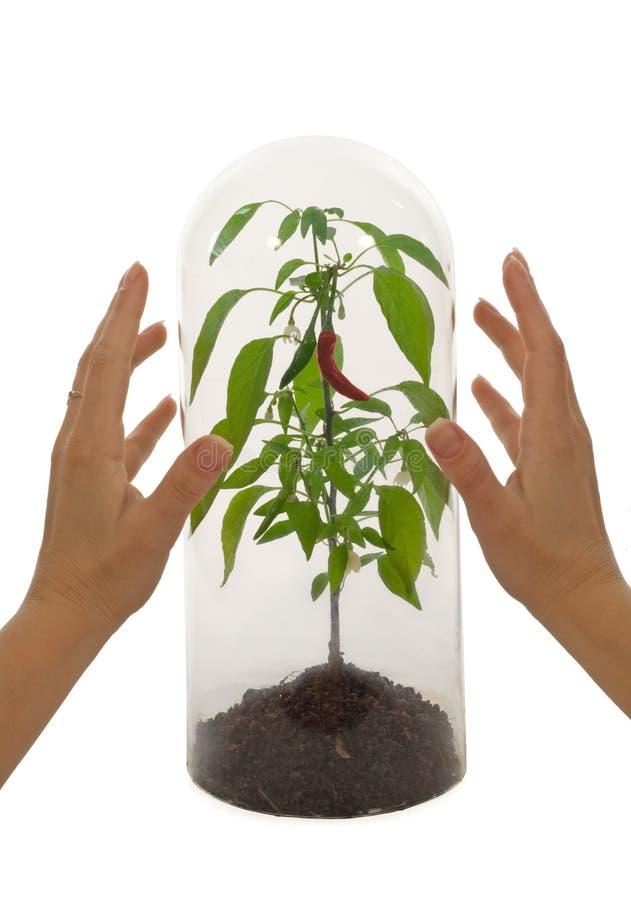 Specie protettiva della pianta immagini stock libere da diritti