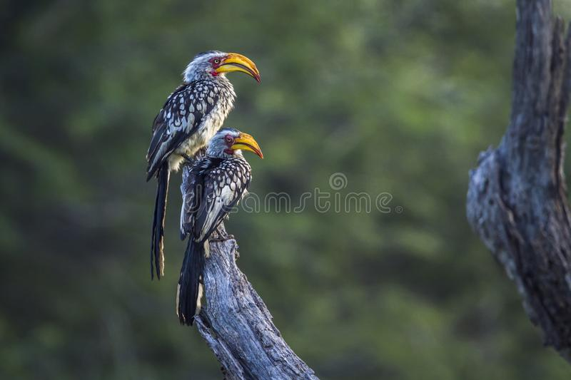 Southern yellow billed hornbill in Mapungubwe National park, Sou. Specie Tockus leucomelas family of Bucerotidae royalty free stock photo
