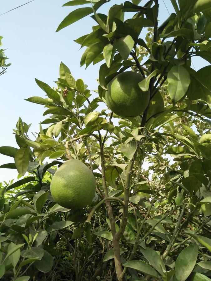 ASIAN PEER ,PYRUS PYRIFOLIA ,FAMILY ROSACEAE,. SPECIE OF TREE NATIVE TO EAST ASIA .THE TREES EDIBLE FRUITS ARE KNOWN BY MANY NAMES, INCLUDING ASIAN PEER ;VITAMIN royalty free stock photography
