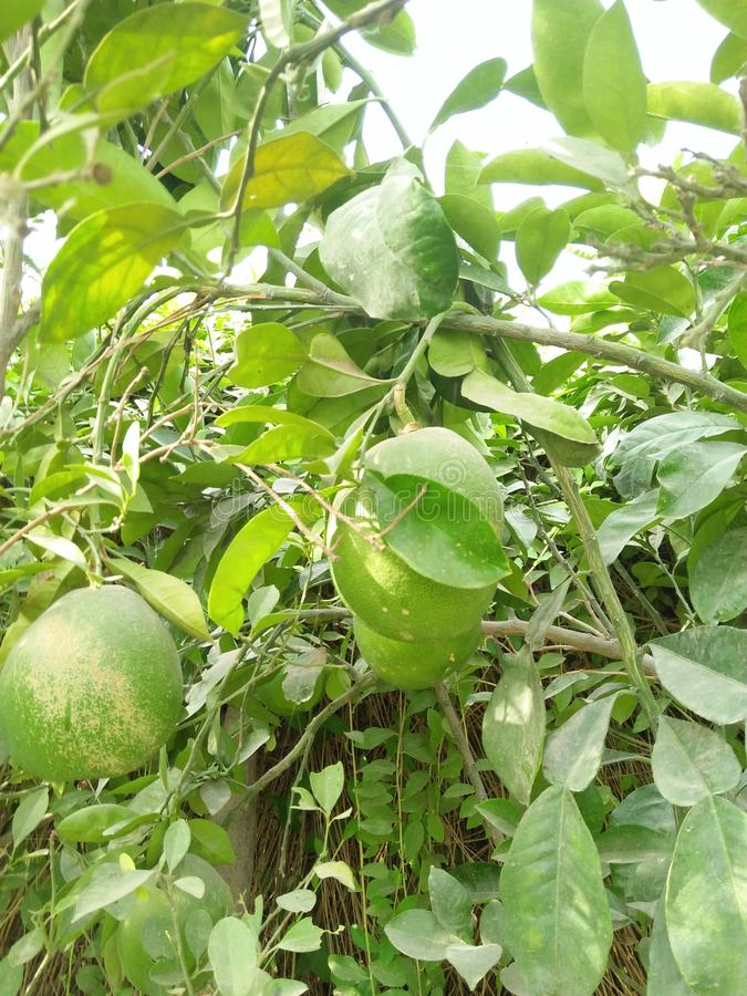 ASIAN PEER ,PYRUS PYRIFOLIA ,FAMILY ROSACEAE,. SPECIE OF TREE NATIVE TO EAST ASIA .THE TREES EDIBLE FRUITS ARE KNOWN BY MANY NAMES, INCLUDING ASIAN PEER ;VITAMIN stock photography