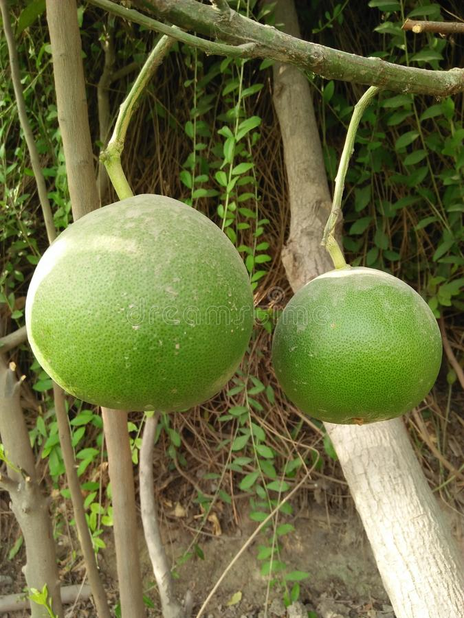 ASIAN PEER ,PYRUS PYRIFOLIA ,FAMILY ROSACEAE,. SPECIE OF TREE NATIVE TO EAST ASIA .THE TREES EDIBLE FRUITS ARE KNOWN BY MANY NAMES, INCLUDING ASIAN PEER ;VITAMIN stock photo