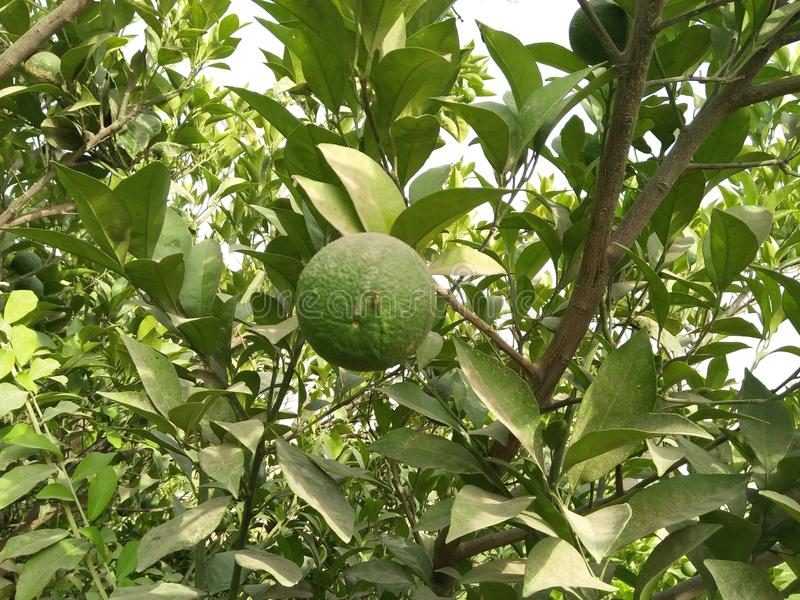 ASIAN PEER ,PYRUS PYRIFOLIA ,FAMILY ROSACEAE,. SPECIE OF TREE NATIVE TO EAST ASIA .THE TREES EDIBLE FRUITS ARE KNOWN BY MANY NAMES, INCLUDING ASIAN PEER ;VITAMIN royalty free stock image