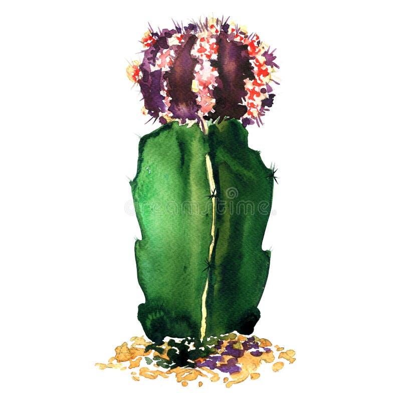 Specie verdi e porpora isolate, illustrazione del cactus dell'acquerello su bianco illustrazione di stock