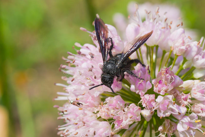Download Species Of Black Wasp On The Summer Flower Stock Photo - Image: 20981720