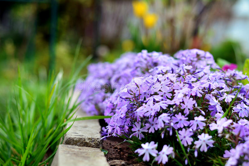 A species of Dianthus blooming in spring fills the garden with a delicious clove fragrance. Purple Dianthus caryophyllus, carnation or clove pink stock image