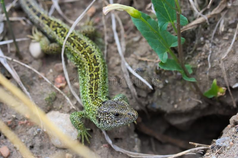 Lacerta agilis, lizard, species of the lizard from the family of appropriate lizards sand lizard. Species of the lizard from the family of appropriate lizards royalty free stock photos
