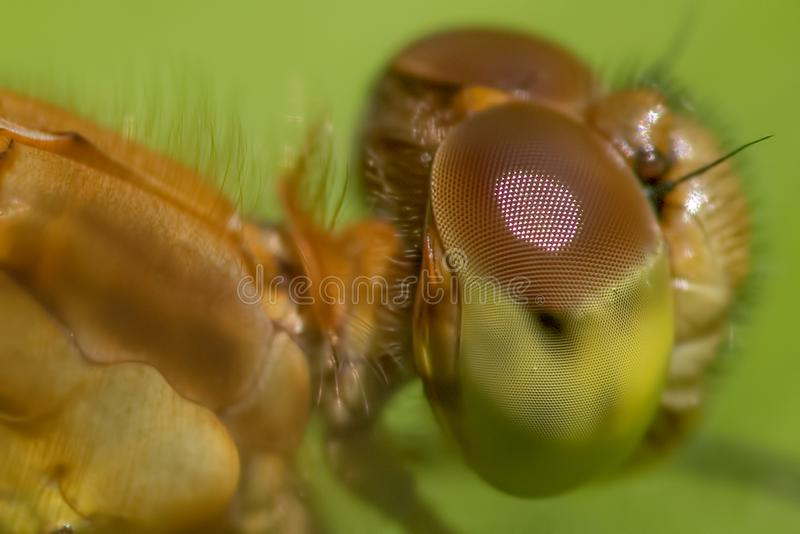 Species of meadowhawk dragonfly - extreme closeup of face and eyes -  taken at Theodore Wirth Park in Minneapolis royalty free stock photo