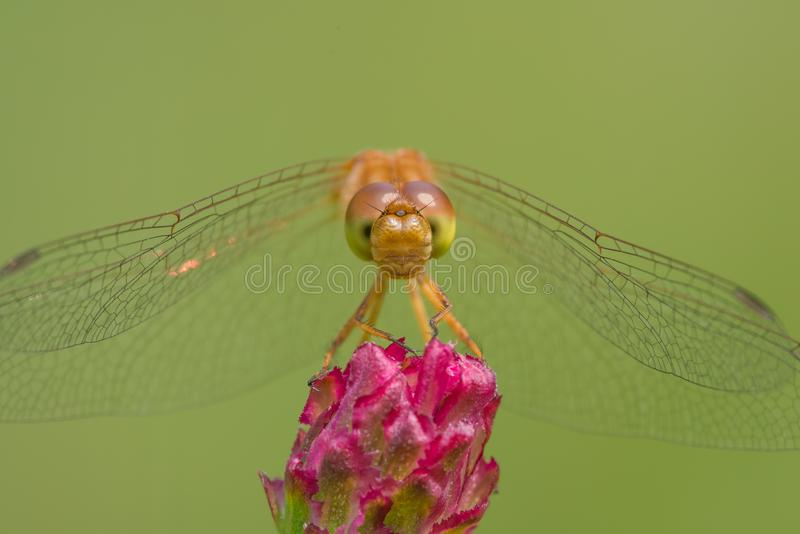 Species of meadowhawk dragonfly - extreme closeup of face and eyes -  taken at the Wood Lake Nature Center in Minnesota royalty free stock photos