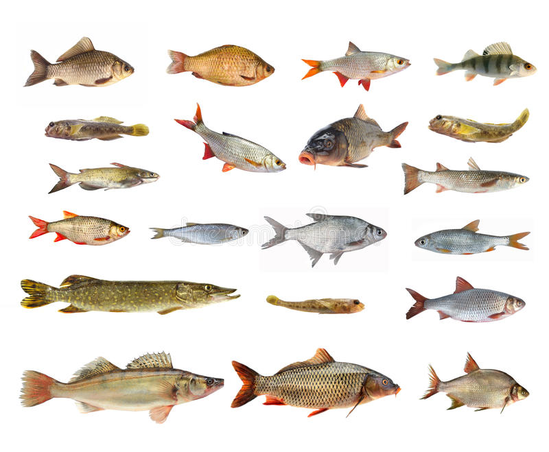 Species Of River Fish Stock Photo