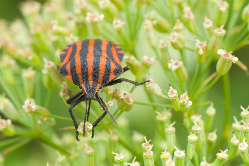 Download Species Of Testaceous Beetle Stock Photo - Image: 20541508