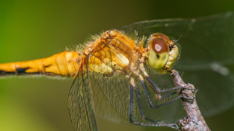 Species van meadowhawklibel - extreme die close-up van gezicht en ogen - in Theodore Wirth Park in Minneapolis wordt genomen royalty-vrije stock foto