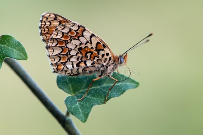 Species van vlinders van de soort Shashechnitsa Melitaea in de vroege ochtend op een fie stock foto's