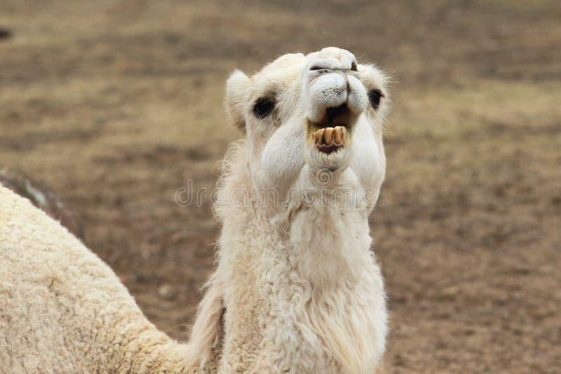 Arabisk kamel arkivbild