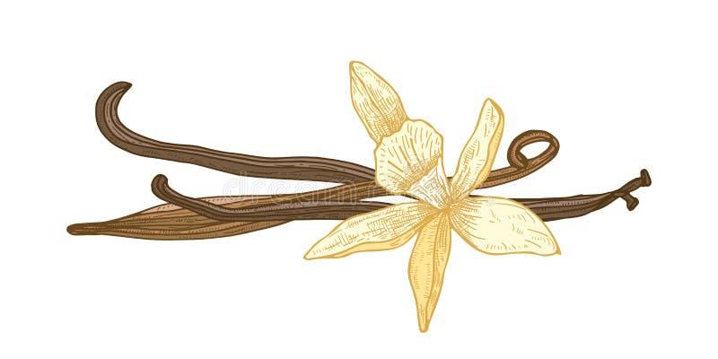 Specificerad naturlig teckning av att blomma vaniljblomman och frukter eller fröskidor som isoleras på vit bakgrund Aromatisk kry royaltyfri illustrationer