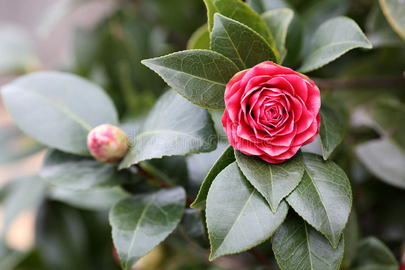 Camellia royaltyfria foton
