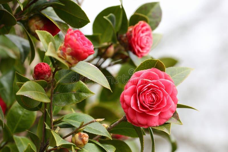 Camellia royaltyfri fotografi