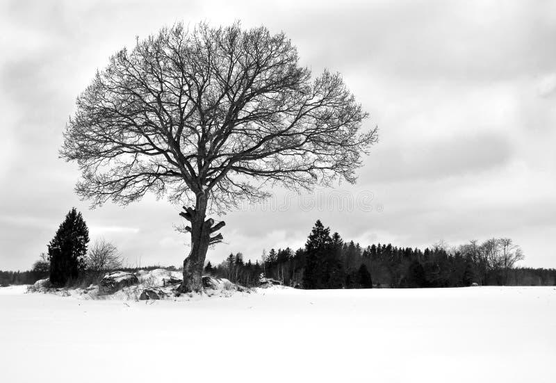 Specifikt fotografi för härlig vintersäsong Det enkla stora trädet som står högväxt och stolt på en snö, täckte ängen/paddocken S arkivbild