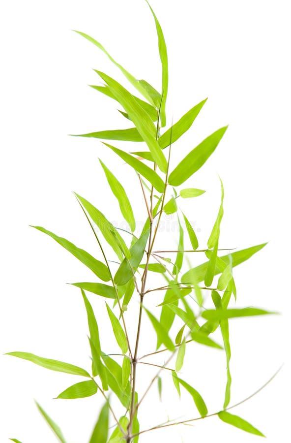 Specimen of Japanese bamboo on white stock photography