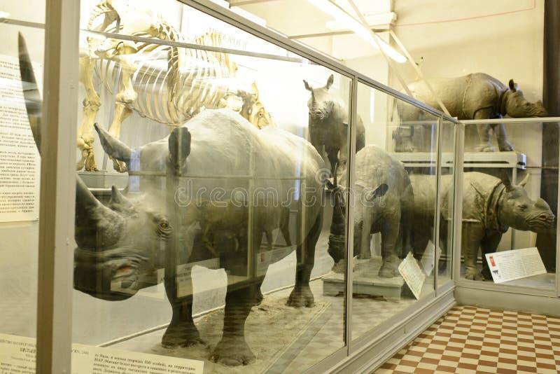 Specimen of rhinoceros stock images
