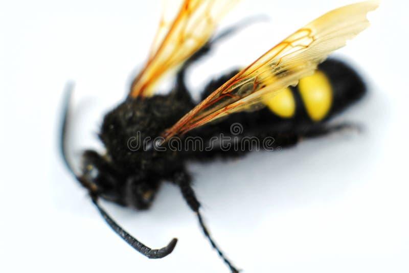 Specimen van mammoetwesp ( Megascolia Maculata Flavifrons) op witte achtergrond royalty-vrije stock foto