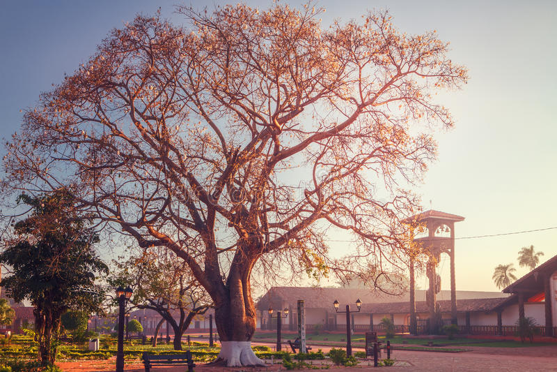 Speciosa de Ceiba de Toborochi avec son immense envergure à l'aube, devant l'église Concepcion, missions de jésuite dans la régio images libres de droits
