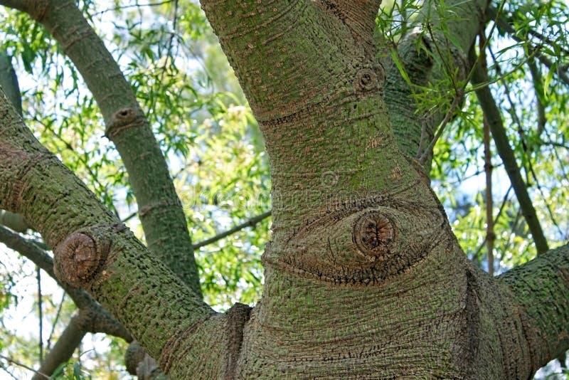 Speciosa de Chorisia, árbol de la seda-seda imagen de archivo