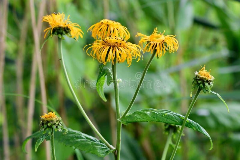 Speciosa de Telekia en el pantano de Woodwalton, en flor imágenes de archivo libres de regalías