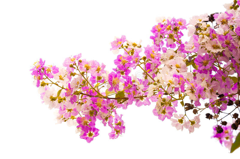 Speciosa del Lagerstroemia, orgullo de la India, la flor de la reina fotos de archivo