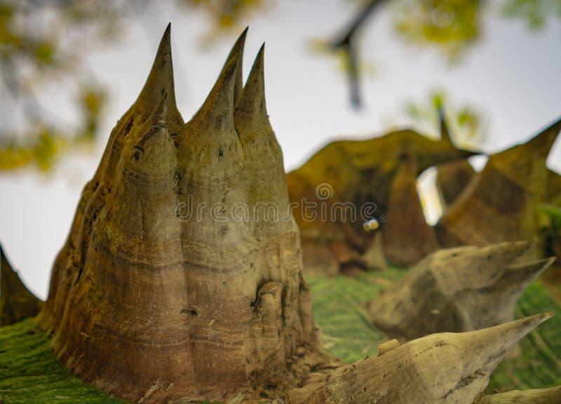 Speciosa della ceiba - l'albero di seta del filo di seta immagini stock libere da diritti