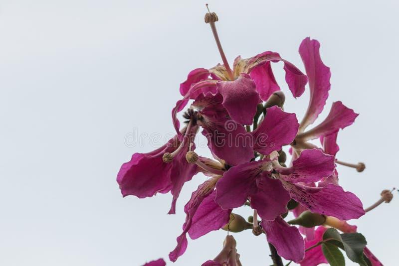 Speciosa di seta della ceiba dell'albero del filo di seta in giardino fotografia stock libera da diritti