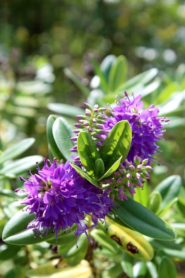 Speciosa Hebe. Ένα είδος ανθίζοντας φυτού στο Plantaginacea στοκ εικόνες με δικαίωμα ελεύθερης χρήσης