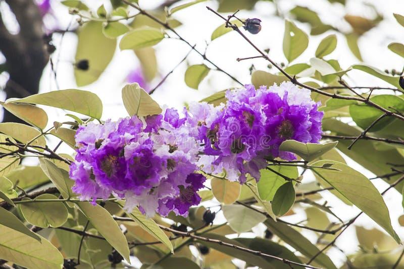 Speciosa púrpura hermoso del Lagerstroemia de la flor imagenes de archivo