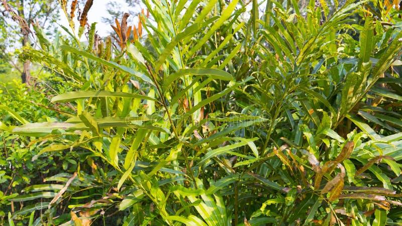 Speciosum del Acrostichum, la felce di cuoio dorata immagine stock