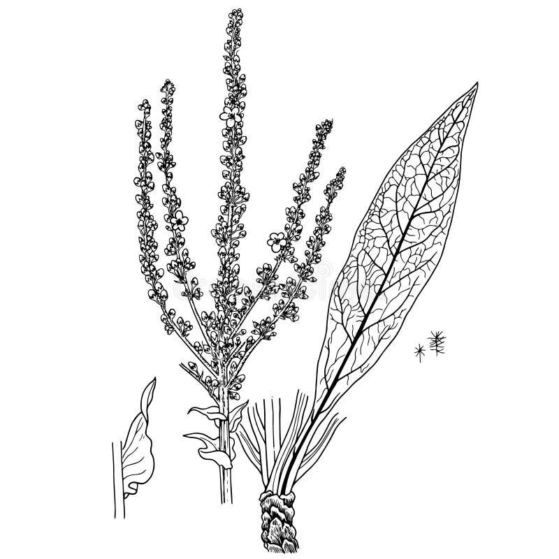 Speciosum del Verbascum fotografía de archivo