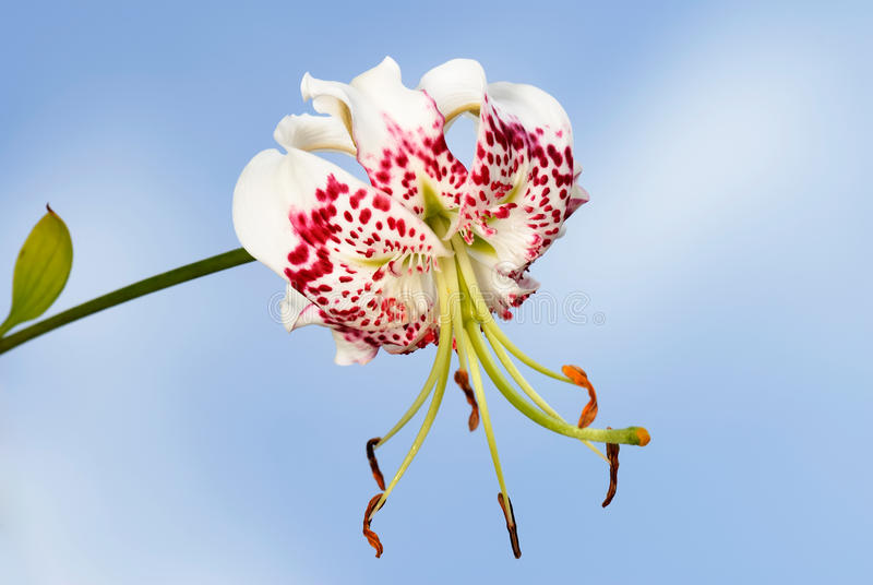 speciosum var lilium gloriosoides стоковое изображение