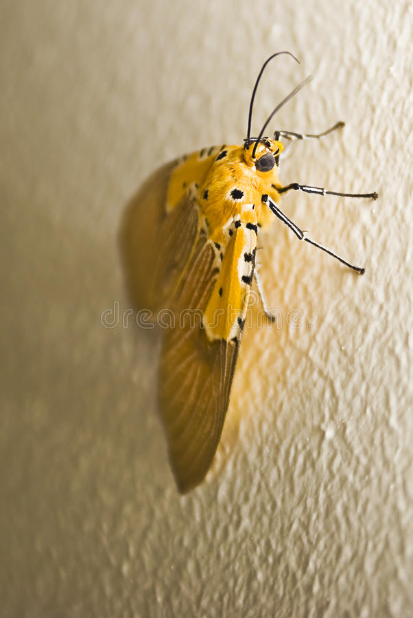 Download Specious Tiger Moth stock image. Image of moth, latex - 20320867