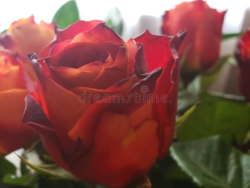 Specjalność róże obraz stock