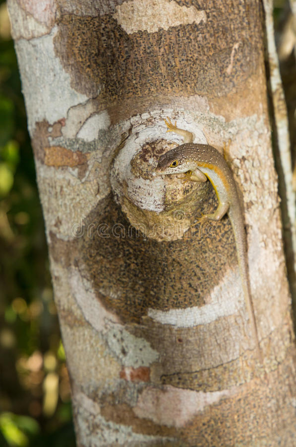 Free Speckle-lipped Skink On Tree Log, Kenya, East Africa Stock Photos - 81473273