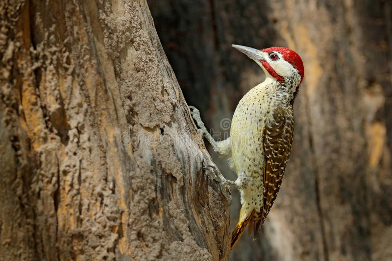 Speckle-throated woodpecker, Campethera scriptoricauda, on tree trunk, nature habitat. Wildlife Botswana, Animal behaviour. Bird i. N the forest. Red cap bird royalty free stock images