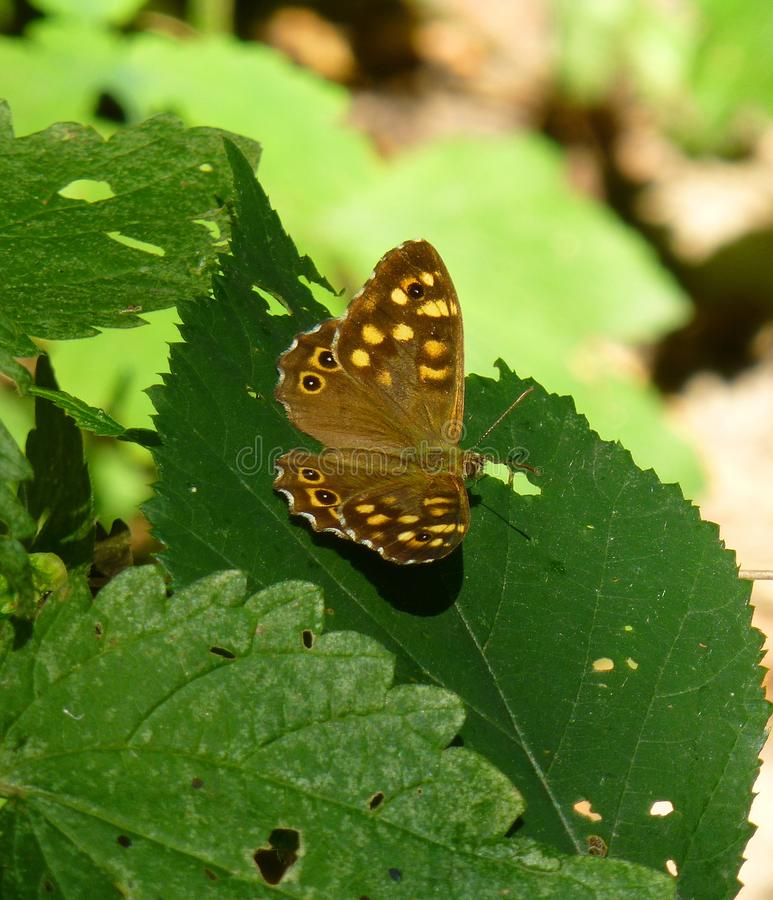 Speckled ξύλινη συνεδρίαση πεταλούδων στο φύλλο ενός πράσινου φυτού στοκ φωτογραφία