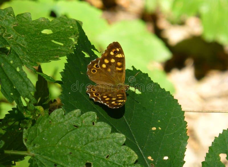 Speckled ξύλινη συνεδρίαση πεταλούδων στο φύλλο στοκ φωτογραφία