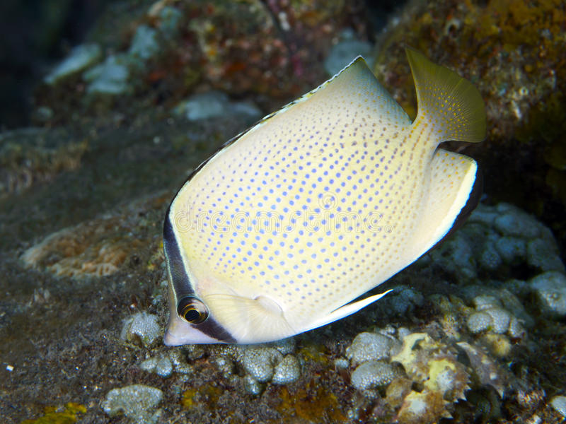 Speckled butterflyfish. In Bali sea (Indonesia royalty free stock photos