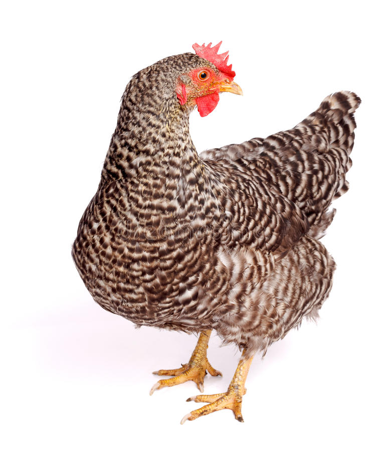 Speckled chicken. On white background. Gallus gallus domesticus royalty free stock photos