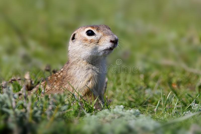 Speckled ground squirrel sitting on the ground. Close up portrait stock image
