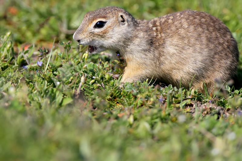 The speckled ground squirrel or spotted souslik Spermophilus suslicus on the ground eating a grass. Extra close up view royalty free stock image