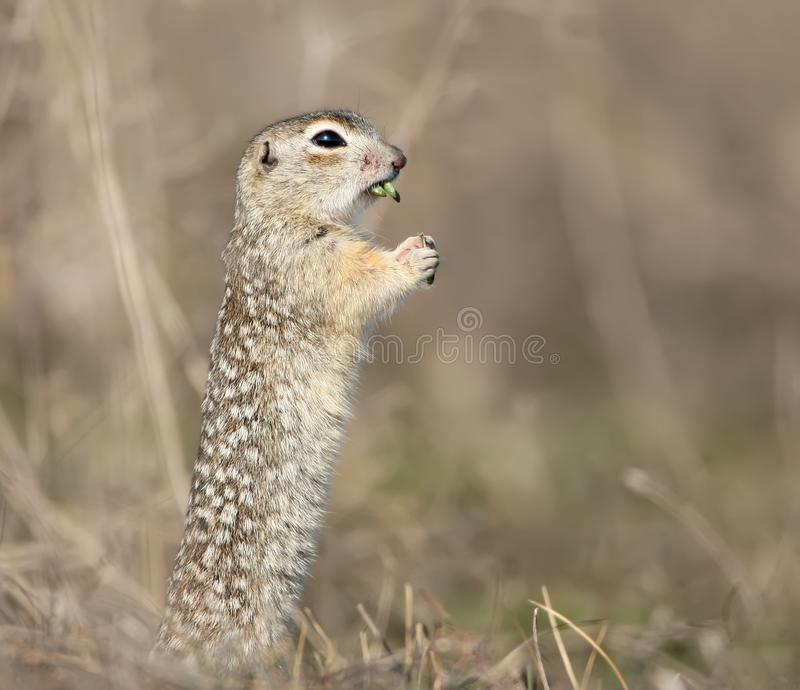 The speckled ground squirrel or spotted souslik Spermophilus suslicus on the ground eating a grass in funny pose. The speckled ground squirrel or spotted souslik stock photos