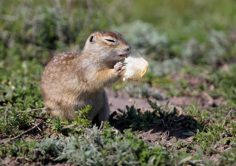 The speckled ground squirrel or spotted souslik Spermophilus suslicus on the ground eating. A bread royalty free stock photo