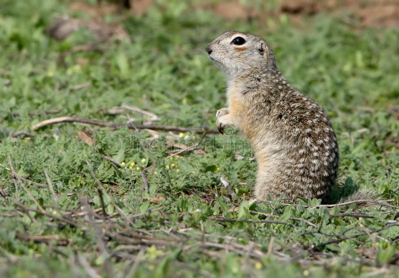 The speckled ground squirrel or spotted souslik Spermophilus suslicus on the ground. The speckled ground squirrel or spotted souslik Spermophilus suslicus sits royalty free stock photo