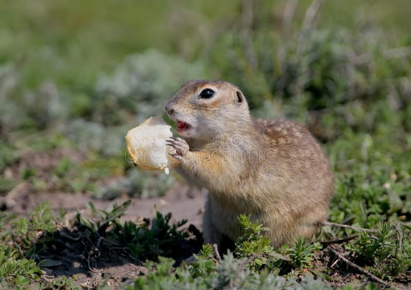 The speckled ground squirrel or spotted souslik Spermophilus suslicus. On the ground eating a bread royalty free stock image