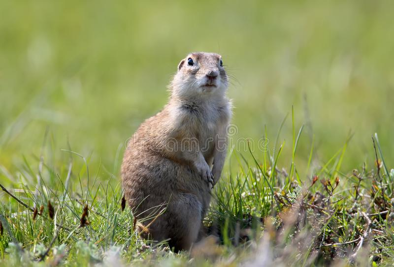 Speckled ground squirrel stands on a ground. In famous pose royalty free stock images